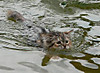Cat_swimming